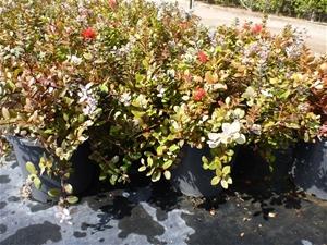 Christmas Bush In Pots.2 X New Zealand Christmas Bush 300mm Pot Bulk Lot Metrosideros Thomasii Sh