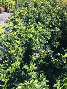 2 x Mock Orange -Murraya Paniculata