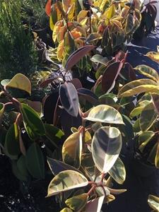 2 x Ficus Elastica Rubber Plant – Burgun