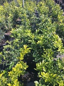 1 x Mock Orange -Murraya Paniculata