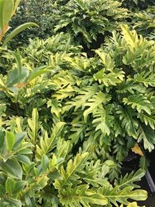1 x Philodendron Xanadu