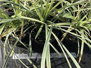 6 x Ophiopogon – Stripey White