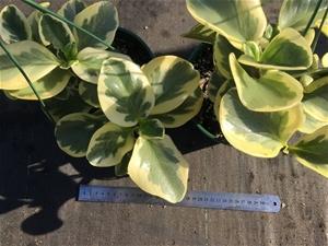 2 x Peperomia obtusifolia variegated