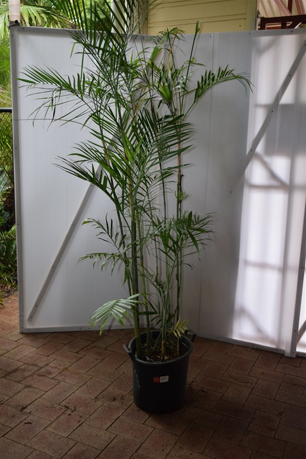 Approximately 8 Foot Bamboo Palm In 500ml Pot