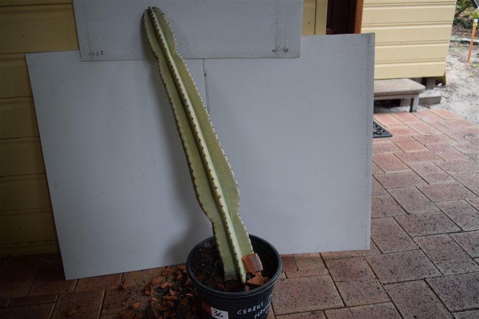 "Rare ""Cactus"" In 300ml Pot"
