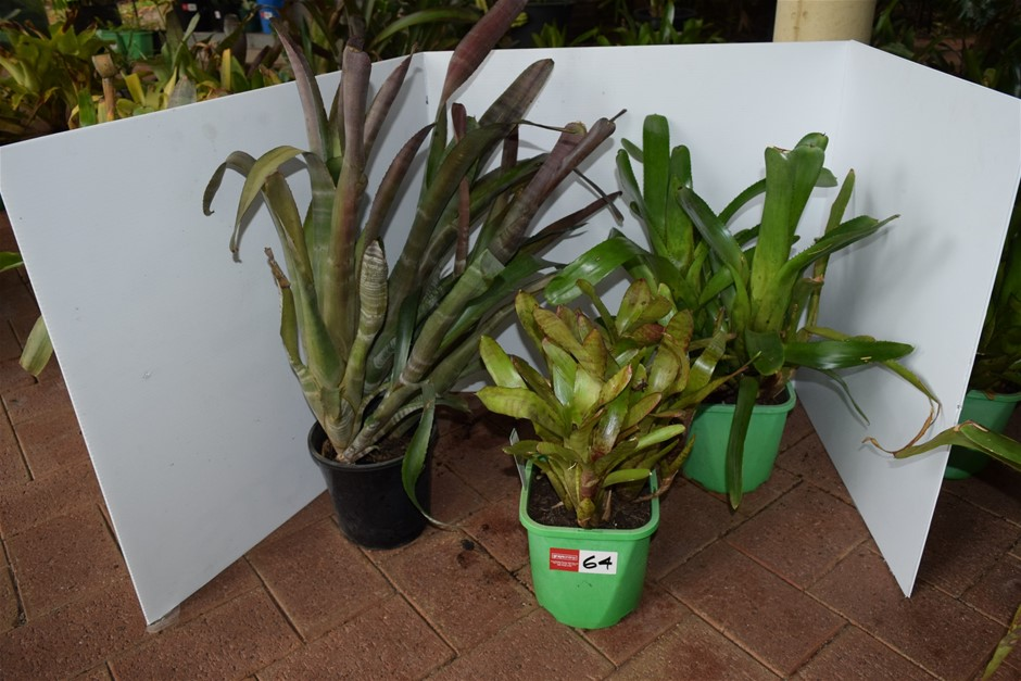 "Lot of 3 ""Bromeliads"" In 200ml Pots"