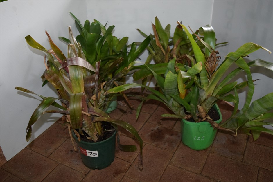"Lot of 4 ""Bromeliads"" in 220ml Pots"