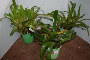 "Lot of 3 ""Bromeliads"" in 200ml Pots"