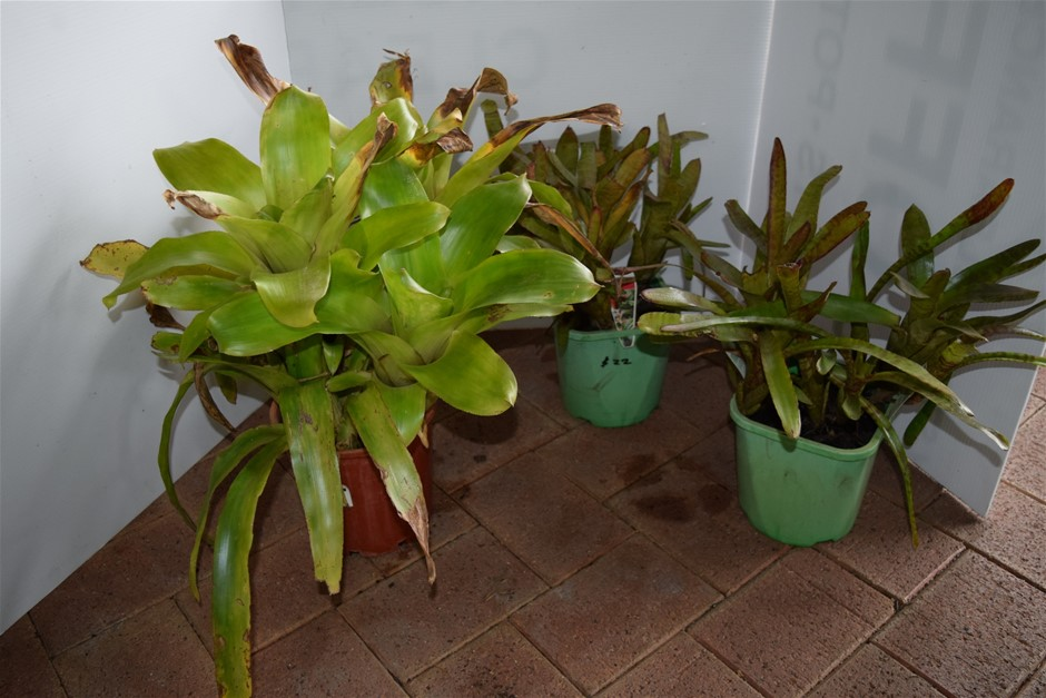 "Lot of 3 ""Bromeliads"" in 220ml Pots"