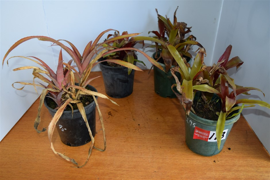Lot of 4 Bromeliads in 150ml Pots