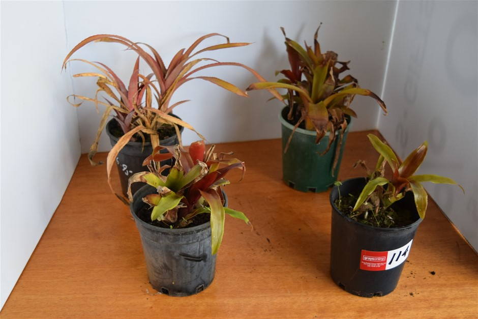 Lot of 4 Bromeliads in 200ml Pots