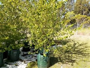 Betula pendula 'Silver birch'
