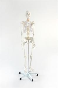 Human Skeleton Anatomical Model 180cm