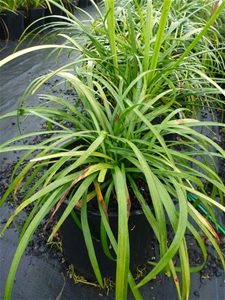Large Liriope Evergreen Giant 200mm Pot Plant Height From Top Of
